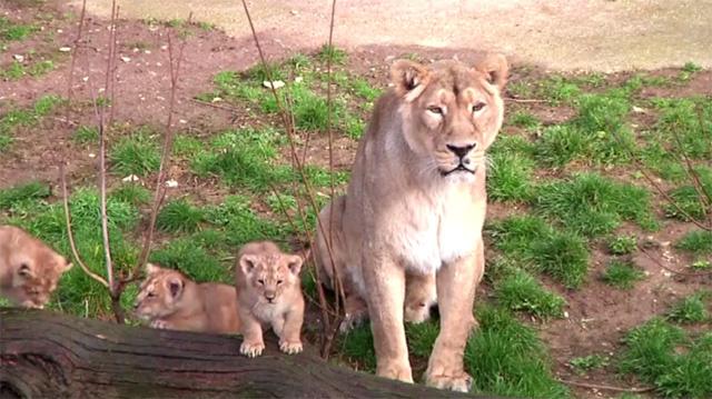 ولادة ثلاثة أشبال في حديقة حيوانات بفرنسا (فيديو)