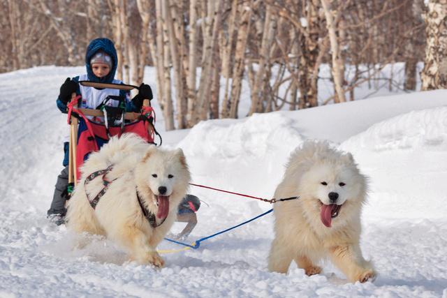 انطلاق سباق الزحافات التي تجرها الكلاب في كامتشاتكا