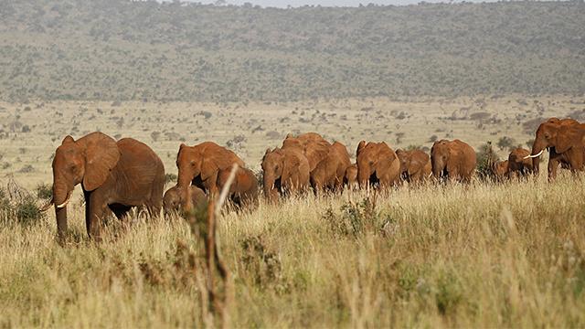 الفيلة تشعر بمدى الخطر من خلال تحليل اصوات البشر