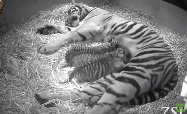 انثى النمر تضع 3 مواليد في حديقة الحيوانات بلندن (فيديو)