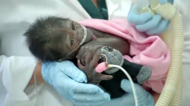 مولودة غوريلا تعالج من قصور رئوي (فيديو)