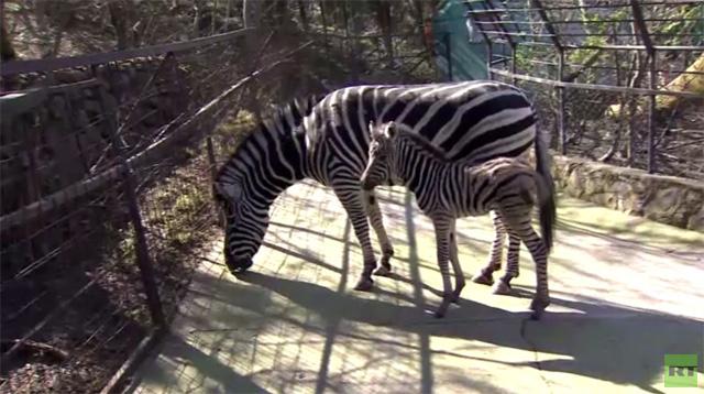 حديقة الحيوانات في يالطا تستضيف مولودة الحمار الوحشي (فيديو)