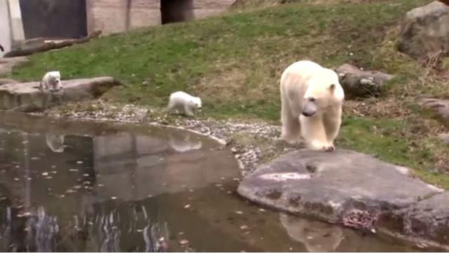 بالفيديو.. تقديم دبين قطبيين صغيرين للجمهور في ميونيخ