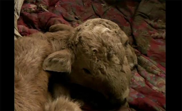 ولادة عجل برأسين في الصين (فيديو)