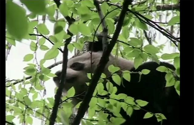 بالفيديو.. العثور على باندا برية في غابة صينية