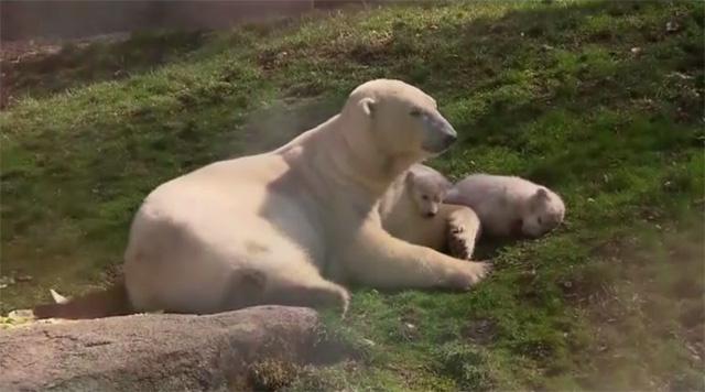 بالفيديو.. صغار الدب الابيض يلعبون في حديقة الحيوانات