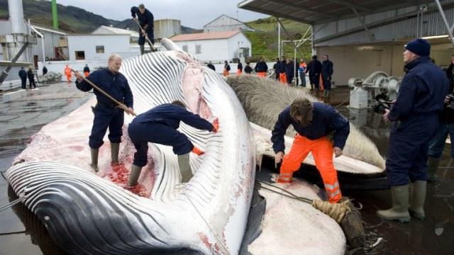 الولايات المتحدة تفرض عقوبات على أيسلندا بسبب صيد الحيتان