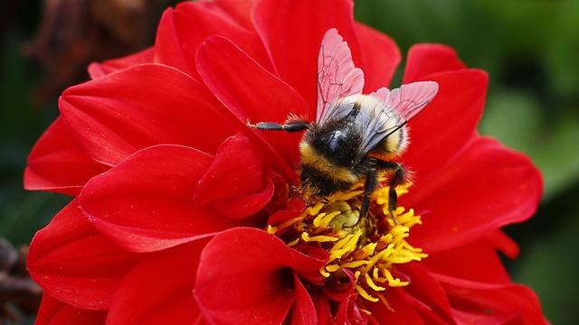الانقراض يهدد ربع أنواع النحل الطنان في أوروبا