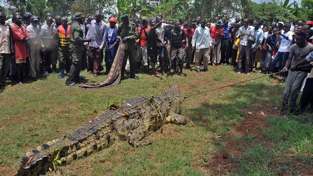 اصطياد تمساح ضخم افترس أربعة صيادين في أوغندا