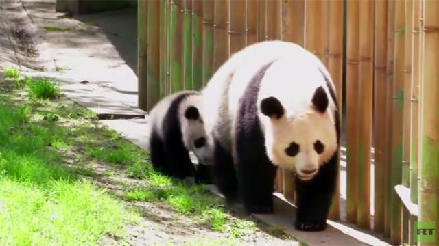 بالفيديو.. وليدة الباندا العملاقة كسينغ باو تقوم بأولى خطواتها
