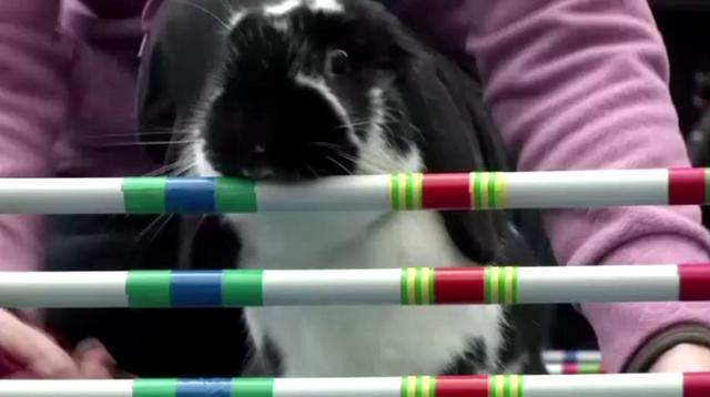 بالفيديو.. مسابقة الأرانب في التشيك