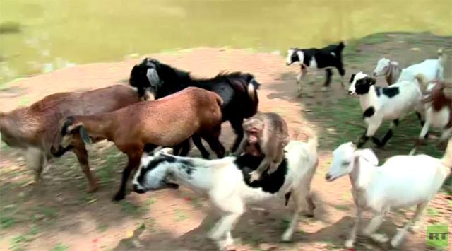 بالفيديو.. قردة ترعى الماعز والأغنام