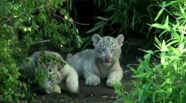بالفيديو.. جراء النمر تعرض في حديقة حيوانات بوينس آيرس