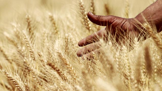 مصر تقدر محصول القمح المحلي بـ 9 ملايين طن