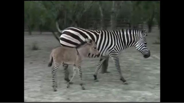 بالفيديو.. هجين نادر جدا يولد في حديقة الحيوان في مكسيكو