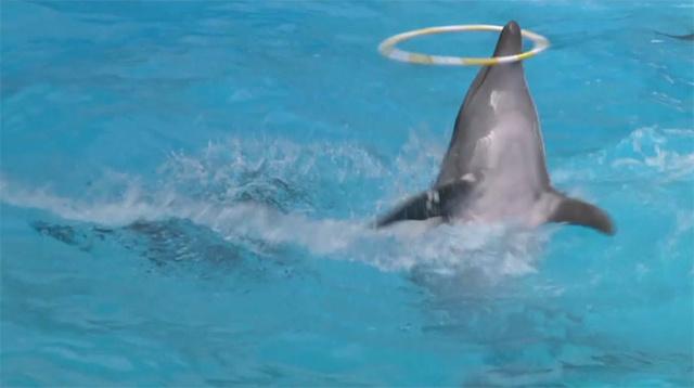 بالفيديو.. ممثل جديد ينضم إلى أسرة الحيتان في حوض الدلافين في دونيتسك الأوكرانية