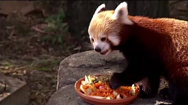 بالفيديو.. مولودا الباندا الحمراء يظهران لأول مرة أمام زوار حديقة الحيوانات في كانبيرا