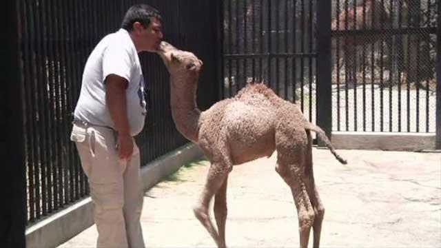 بالفيديو.. ولادة جمل في حديقة الحيوان في مكسيكو