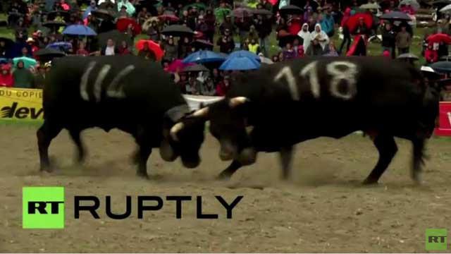 بالفيديو.. معركة البقر في سويسرا