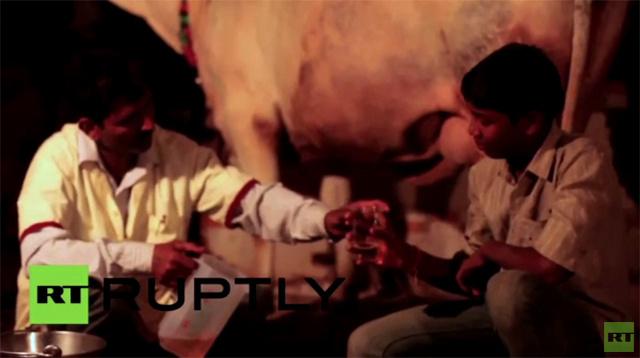 بالفيديو.. شرب بول البقر في الهند للشفاء من كل الأمراض