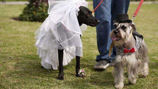 بالفيديو.. زواج الكلاب في البيرو