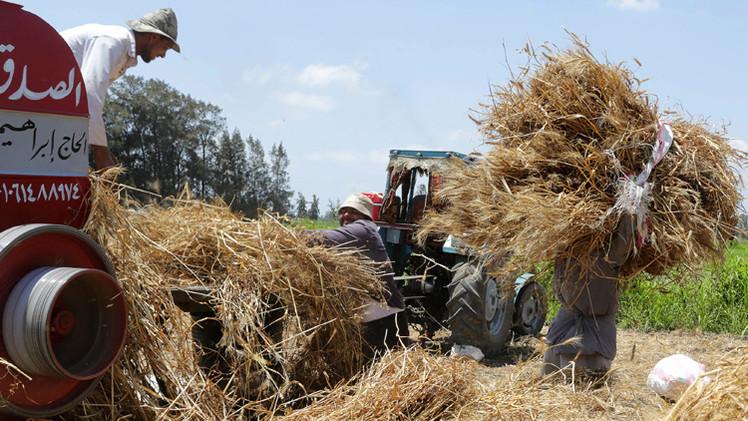 مصر تشتري 3.7 مليون طن قمح محلي والاحتياطي يكفي لمدة 6 أشهر
