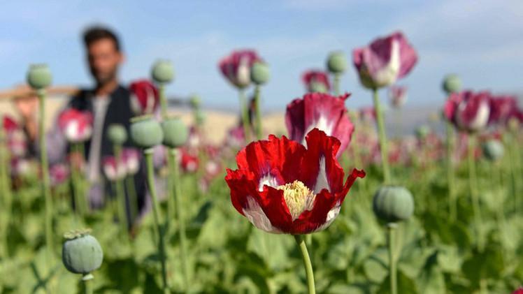 تشوركين: القوات الدولية فشلت في مواجهة خطر المخدرات في أفغانستان