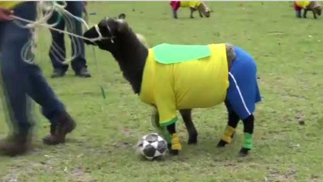 بالفيديو... فريقان من الغنم يلعبان مباراة ودية مرتدين ملابس رياضية ملونة بألوان منتخبي بلديهما