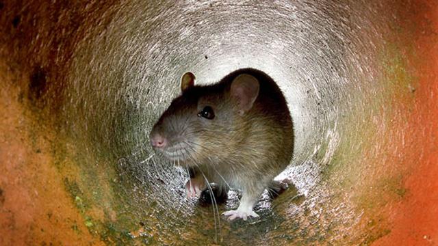 الفئران أيضا تندم