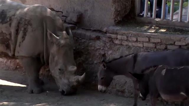 بالفيديو.. أنثى وحيد القرن تقتل ذكرها لكي تعيش مع الحمير