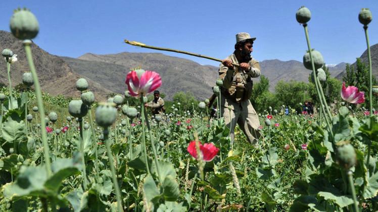 الهيئة الروسية لمكافحة المخدرات تتوقع زيادة إنتاج الهيرويين في أفغانستان إلى مستوى 800 طن