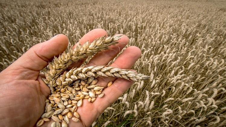 مصر تخطط لاستيراد 175 ألف طن من القمح الروسي والروماني في شهر سبتمبر/أيلول القادم