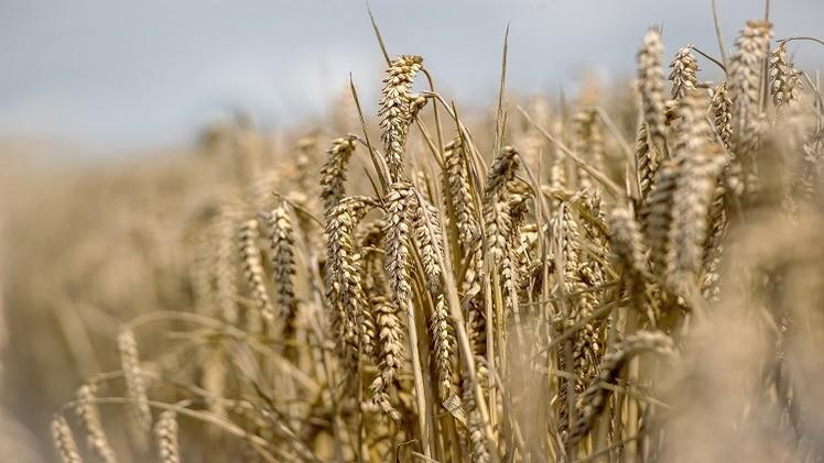 روسيا تنوي زيادة صادراتها من الحبوب إلى مصر