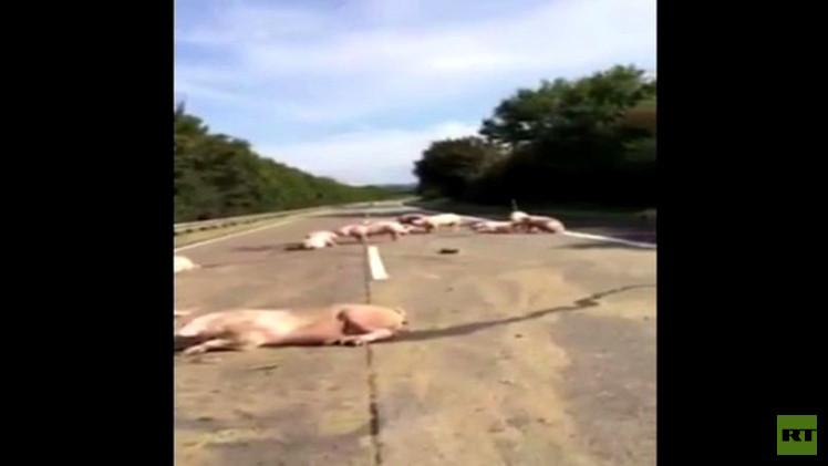 بالفيديو من هولندا.. مذبحة الخنازير