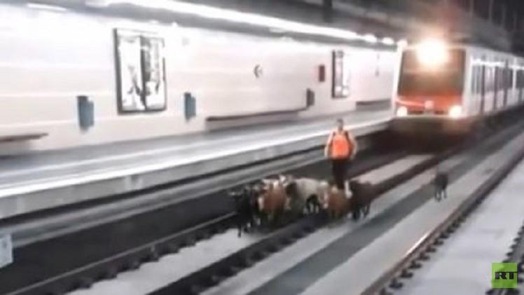 بالفيديو .. هل ستجر قطعان الماعز قطارات إسبانيا؟