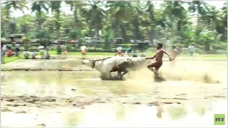 بالفيديو من الهند.. مهرجان الجري مع الثيران فوق حقول الأرز
