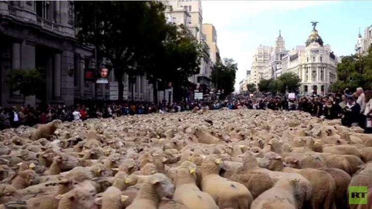 بالفيديو..تدفق هائل للخراف في شوارع مدريد