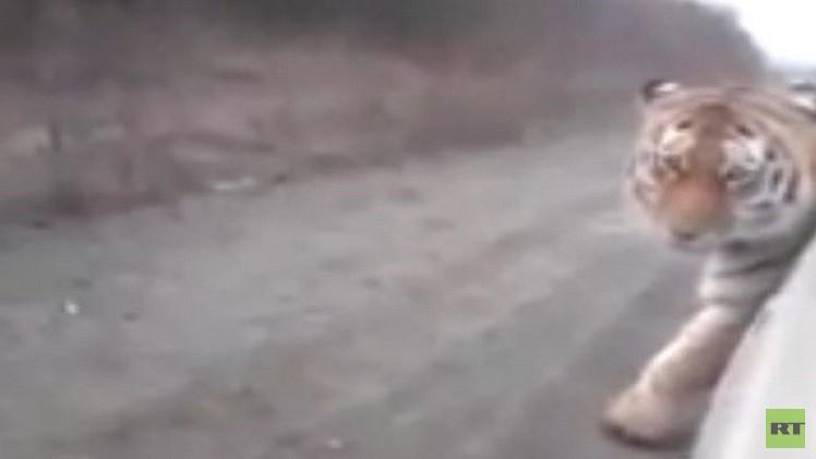 بالفيديو.. نمر ضخم يقطع الطريق في روسيا