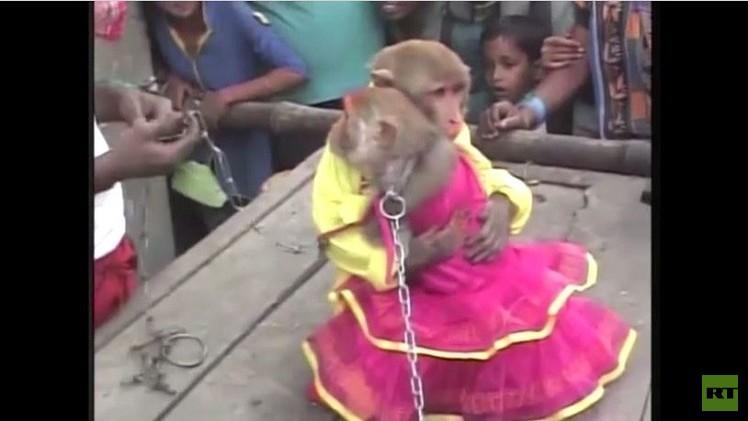 بالفيديو..حفلة زواج قردين  في إحدى المناطق الهندية