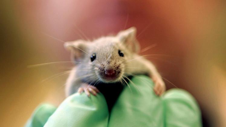 فئران شفافة الجلد.. إنتاج ياباني