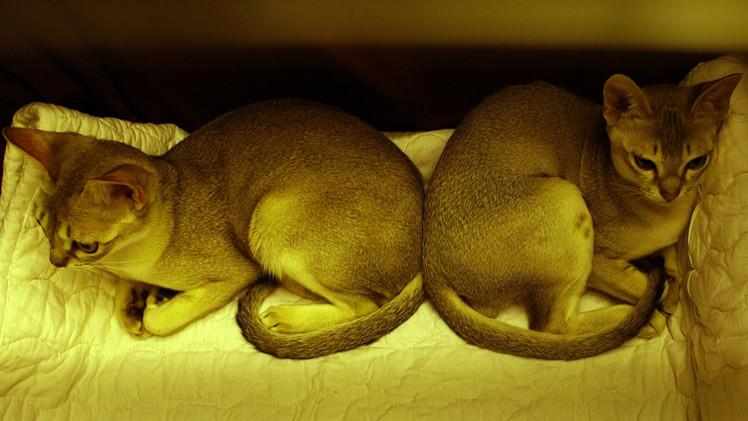 علم الوراثة يؤكد تميز القطط المنزلية