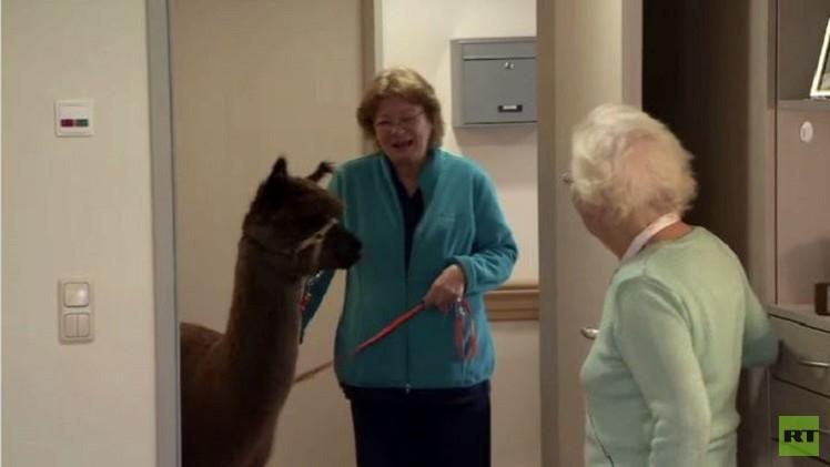 بالفيديو من ألمانيا.. بيت للمسنين ينشر الحب بين سكانه بواسطة حيوان الألبكة