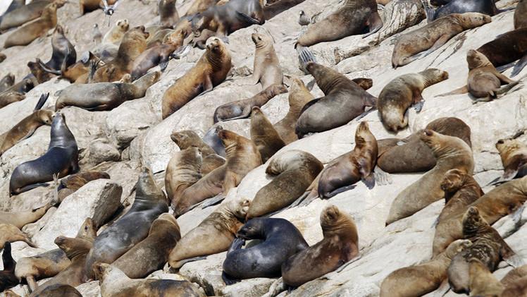 البيرو تحقق في نفوق 500 أسد البحر
