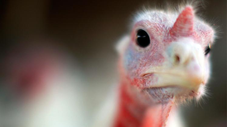دراسة: الدجاج والديك الرومي أقرب إلى الديناصور من الطيور الأخرى