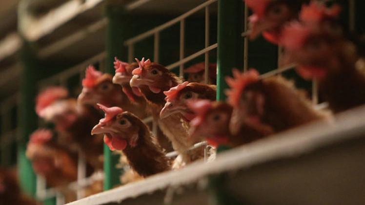 كوريا الجنوبية تعلن وقف استيراد الدواجن من الولايات المتحدة بسبب مرض انفلونزا الطيور