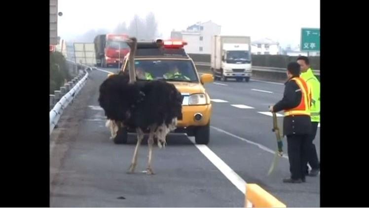 بالفيديو من الصين.. ذكر نعام  يسابق الشاحنات ويُعطّل الطريق السريع
