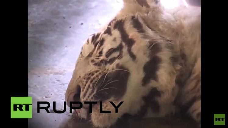 بالفيديو من الهند.. ثعبان الكوبرا يقتل نمرا أبيضا بعد معركة 10 دقائق