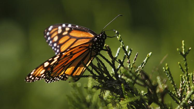 فراشة الملك أصبحت من الأنواع المهددة بالانقراض بعد انخفاض أعدادها بنسبة 90٪