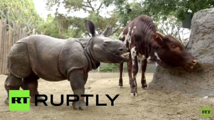 صداقة فريدة من نوعها بين وحيد القرن وثور الانكولي (فيديو)
