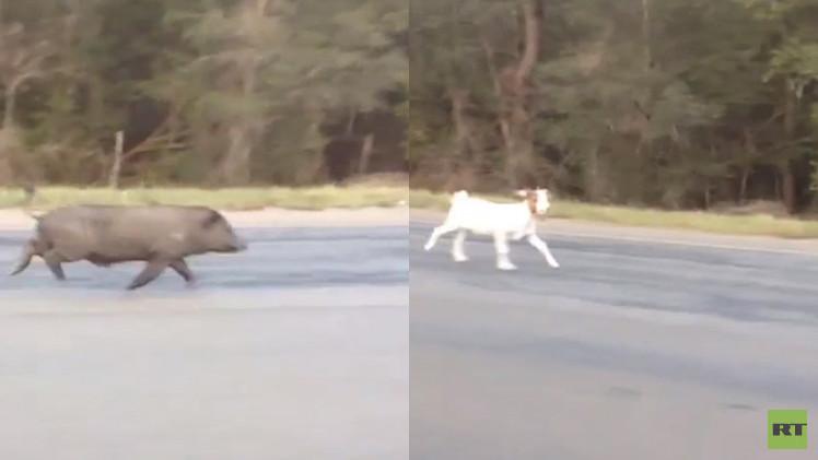 بالفيديو.. خنزير يلاحق ماعزا في طريق عام